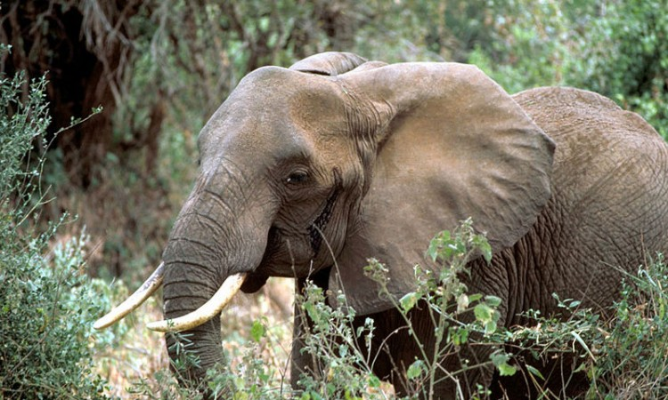 800px-African_elephant